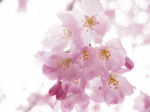 Sakuraimage